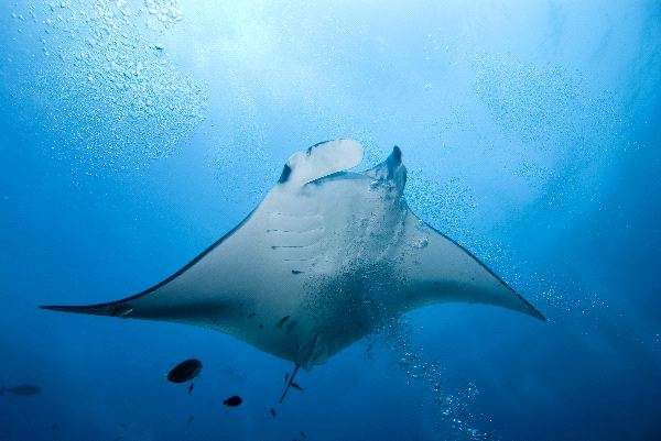 A Beautiful Reef Manta Ray