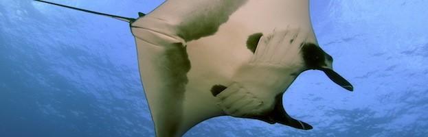 Manta Ray Conservation Efforts