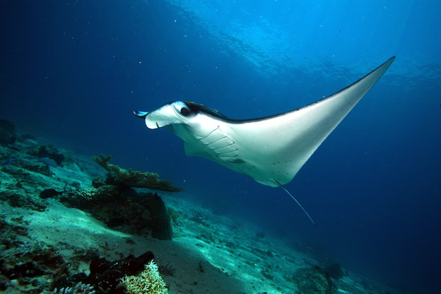 Manta Ray Habitat and Distribution