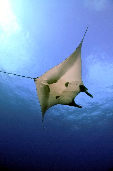 Giant Manta Ray Swimming Near The Surface