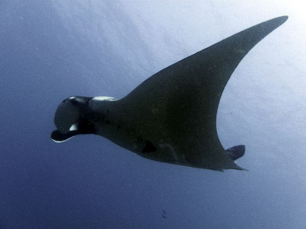 Manta Ray Close-up View