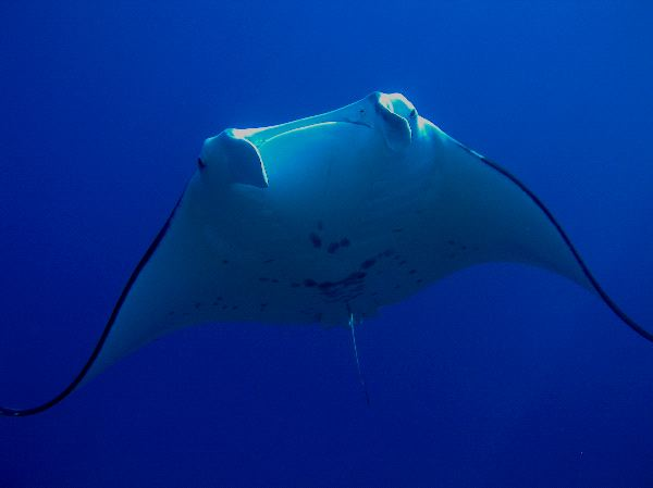 Manta Ray in Tropical Waters