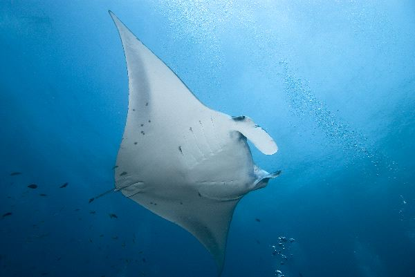 Manta Ray near Maldives Islands