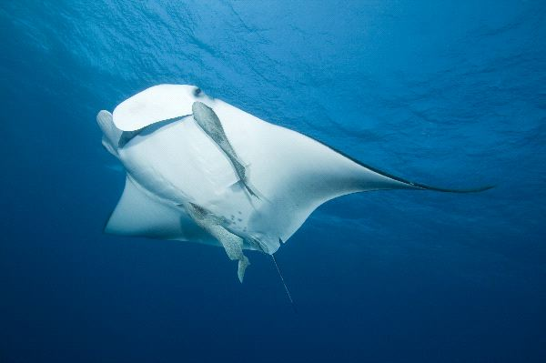 Manta Ray or Devilfish in Open Ocean