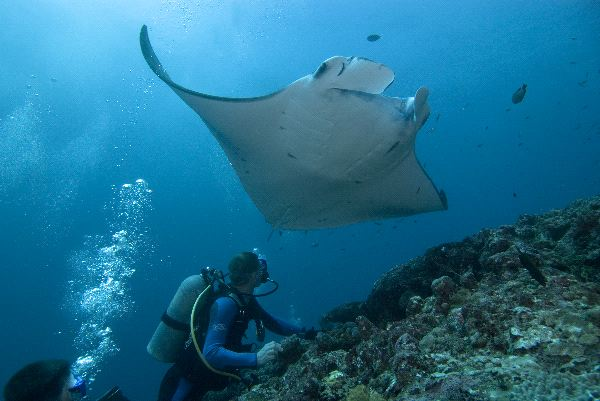 Reef Manta Ray And Diver