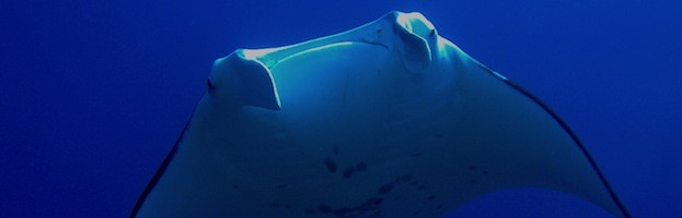 Manta Rays in Culture