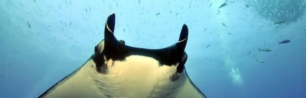 Manta Rays Endangered