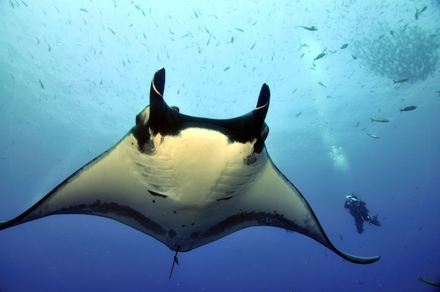 Manta Ray and Humans