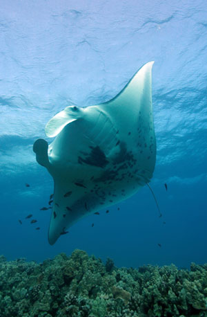 manta ray facts