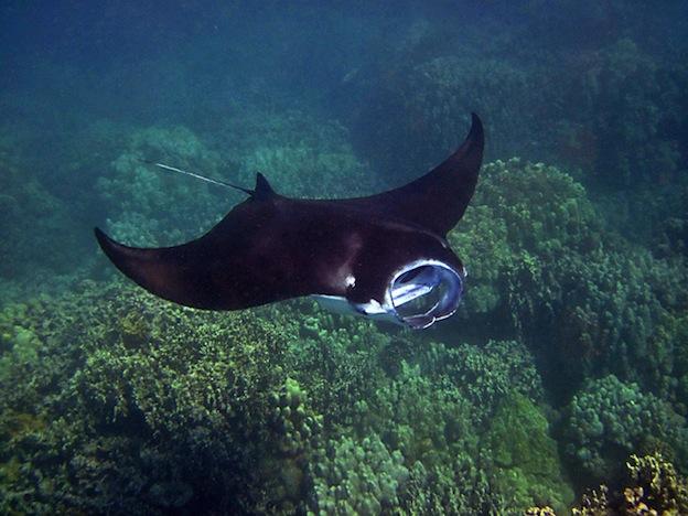 Manta ray diet