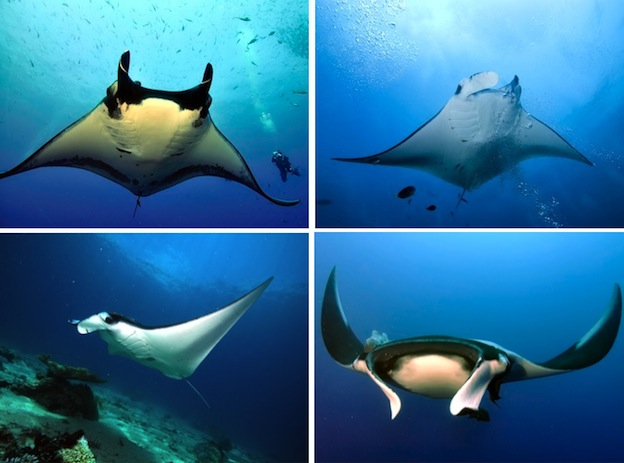 manta_ray_species_overview
