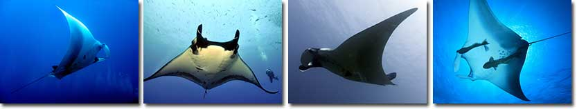 Mantaray Information