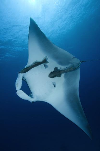 Datos sobre la mantarraya de arrecife