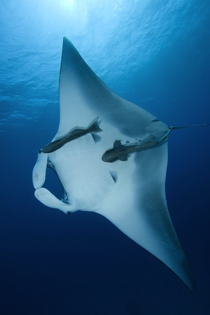 Information about the reef manta ray.