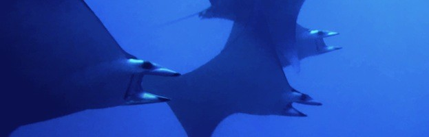 Manta Ray Research
